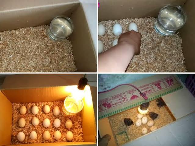 cara membuat mesin penetas telur dari kardus